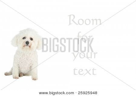 chloe a purebred bichon frise on white with room for your text
