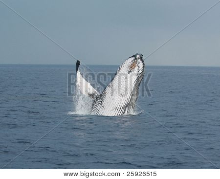 A North Pacific Humpback Whale