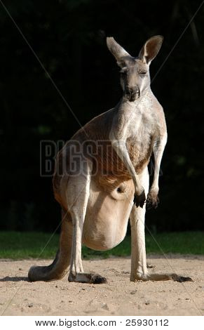 Red kangaroo (Macropus rufu) with a baby inside the pouch