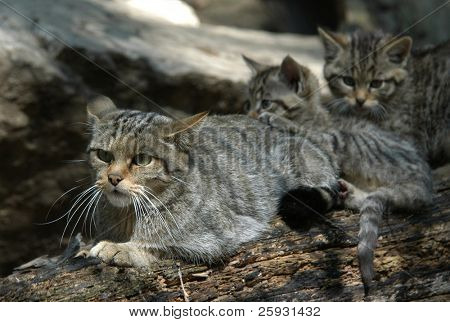 European wildcat (Felis silvestris silvestris) with a kitten