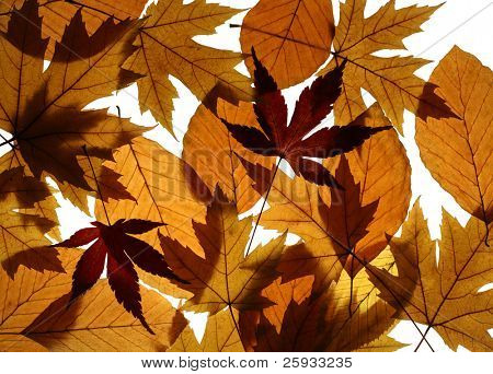 Texture from leaves of Silver (Acer saccharinum) and Japanese (Acer palmatum) maples and European beech (Fagus sylvatica)