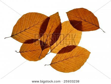 Yellow leaves of European beech (Fagus sylvatica) isolated on white