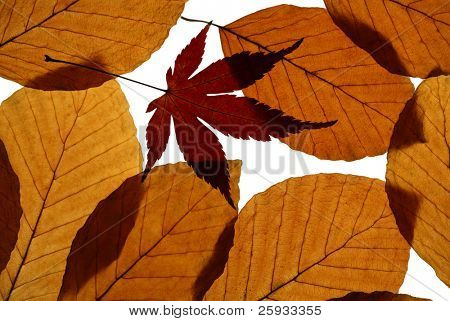 Autumn leaves of European beech (Fagus sylvatica) and Japanese maple (Acer palmatum) isolated on white