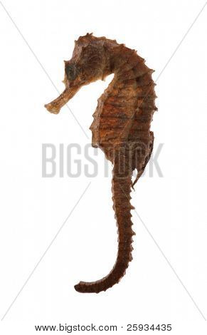 Sea horse also known as a hippocampus isolated on white