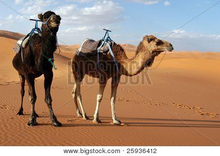 Arabian camels or Dromedaries (Camelus dromedarius) in the Sahara Desert, Morocco.