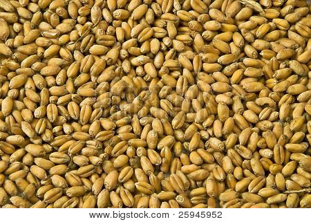 Wheat grain texture - cerealas detail