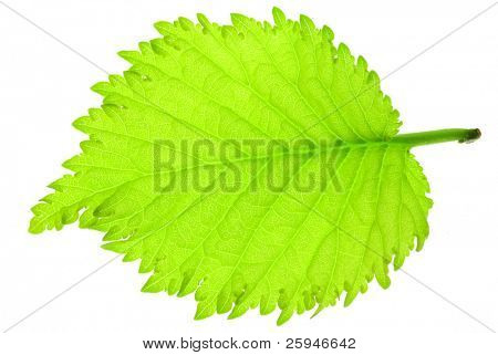 Fresh green hazel-nut tree leaf on a white background