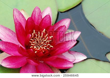 Beautiful blooming pink water lily detail in the pond