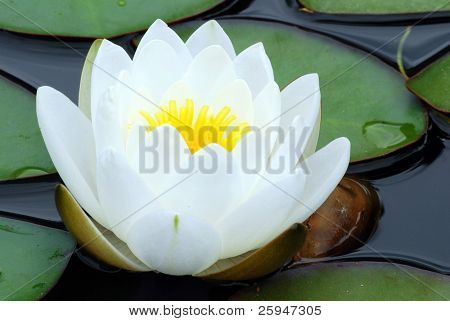 White water lily bloom wet from dew and green leaves