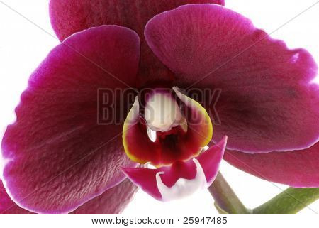 Macro of a beautiful purple orchid (Phalaenopsis) isolated