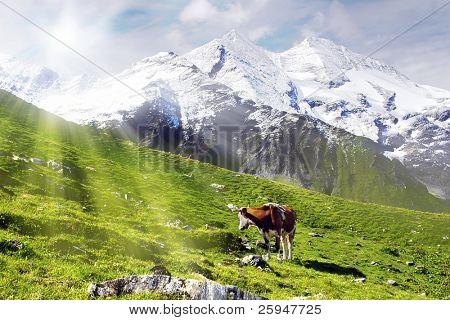 Kuh stehen auf einer Almwiese sucht in der Sonne