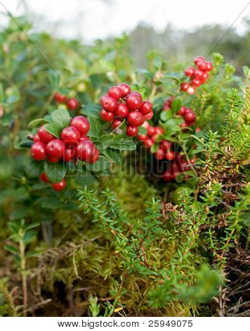 Lingonberries, lat. Vaccinium vitis idaea