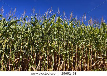 Field of ripening Corn
