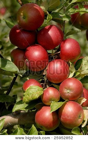 Close Up Of Apples Growing On A Tree