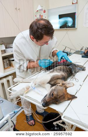 Veterinarian makes surgery the dog with fracture back paws