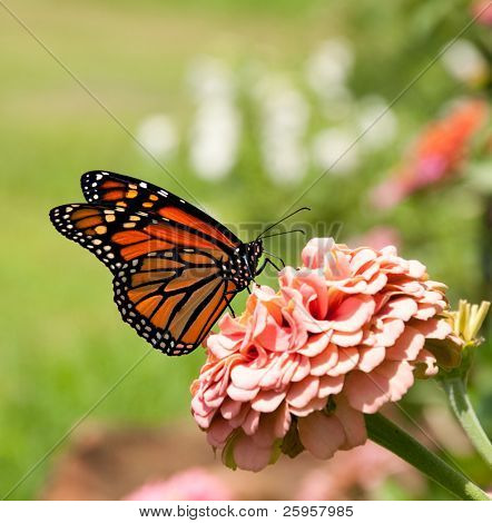 Monarch butterfly on pink Zinnia