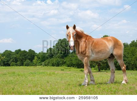 Beautiful Belgian Draft Horse looking at the photographer