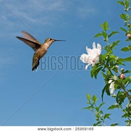 Ruby-throated hummingbird feeding on Althea