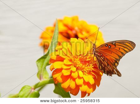 Gulf Fritillary butterfly feeding on a matching orange Zinnia