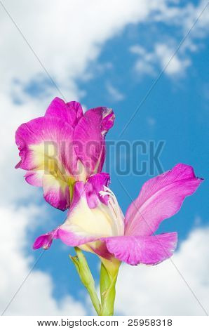 Purplish pink Gladiolus flower against partly cloudy sky