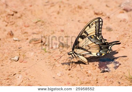 Beautiful Eastern Tiger Swallowtail feeding on a natural beach looking for minerals