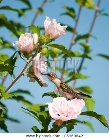 Lazy little hummingbird sitting on an Althea flower reaching out to feed