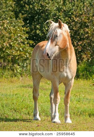 Handsome Belgian Draft horse observing his surroundings with his ears pricked