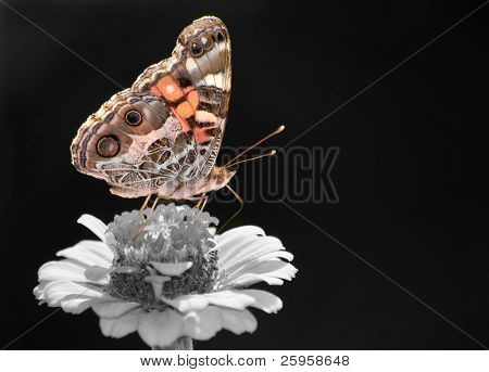 Beautiful American Painted Lady butterfly, color spot on black-and-white
