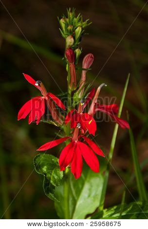 Beautiful, showy  scarlet red Cardinal flower Lobelia cardinalis