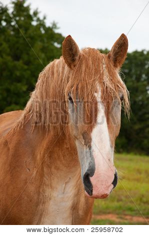 Belgian Draft horse covered in red dirt after rolling on a rainy day