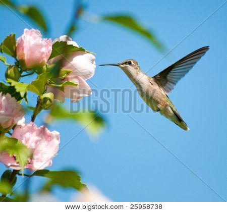 Female Ruby-throated Hummingbird feeding on an Althea flower