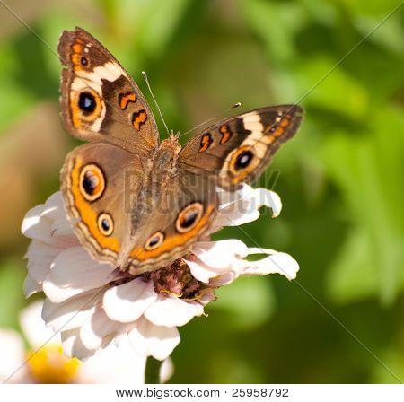 Buckeye Schmetterling