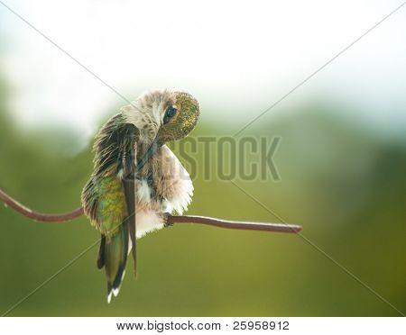 Tiny juvenile male Hummingbird preening his feathers
