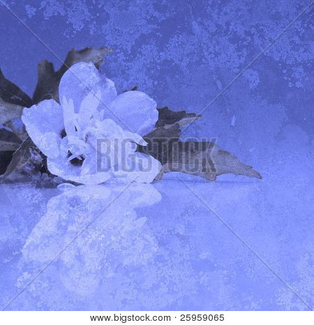 Abstract image of a white Althea flower with reflection, on textured background in blue tones with copy space