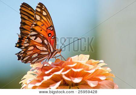 Agraulis Vanillae, Gulf Fritillary butterfly feeding on a coral colored Zinnia flower