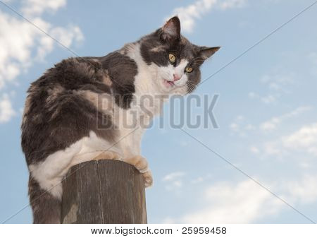 Beautiful diluted calico cat sitting on a fencepost hissing and mad