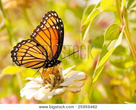 Viceroy butterfly feeding on a white Zinnia against bright green background