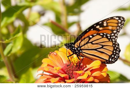 Migrating Monarch butterfly, Danaus plexippus, restoring its energy supply by feeding on a bright orange Zinnia
