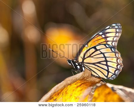 Beautiful Viceroy butterfly resting on a yellow fall leaf