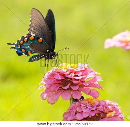 Beautiful Green Swallowtail butterfly feeding on a flower on a bright sunny day against green background
