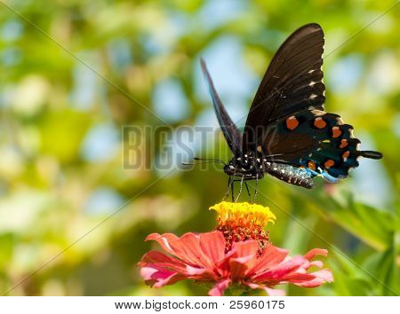 Green Swallowtail, Battus philenor butterfly feeding in a garden