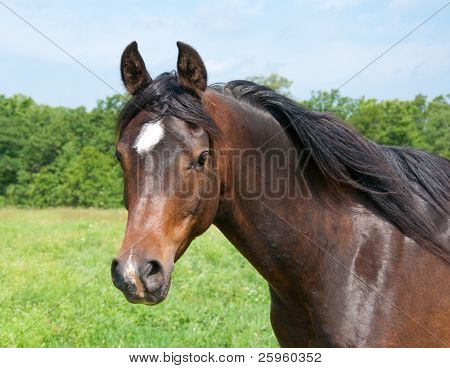 Beautiful dark bay Arabian horse in pasture looking at the viewer