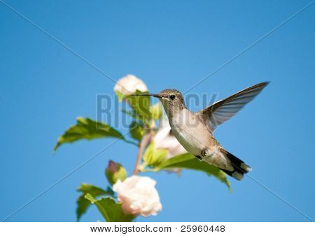 Tiny Hummingbird looking suspiciously at the viewer while hovering next to a flower