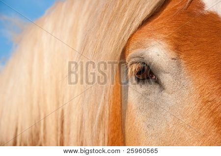 Beautiful gentle eye of a huge Belgian Draft horse