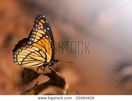 Beautiful Viceroy butterfly perched on a dry leaf in autumn sun