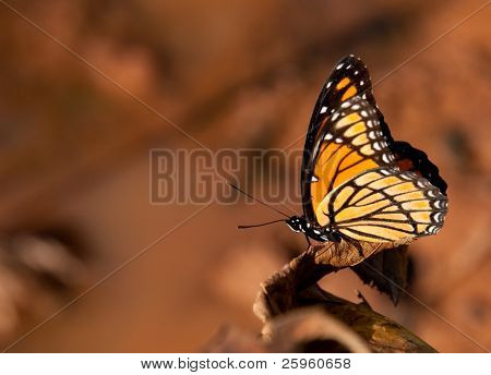 Colorful Viceroy butterfly resting against muted color fall background