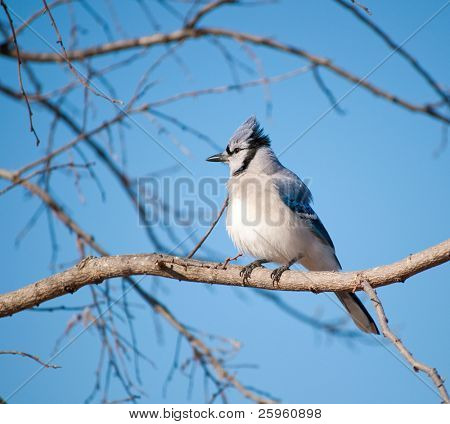 Fluffed up Blue Jay, Cyanocitta cristata, in a Persimmon tree against clear blue winter sky