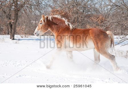 Beautiful blond Belgian Draft horse trotting through snow on a sunny cold winter day