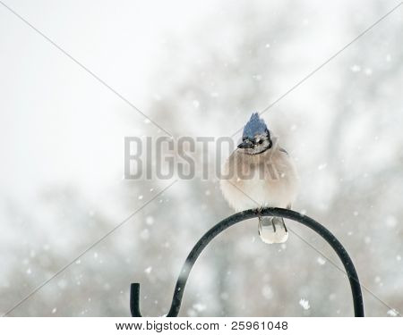 Fluffed up Blue Jay, Cyanocitta cristata, sitting on a shepherd's hook in snowfall