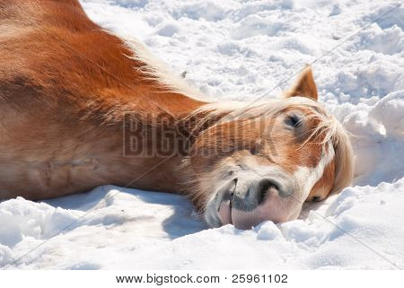 Close up image of a Belgian Draft horse sleeping in snow on a bright winter day